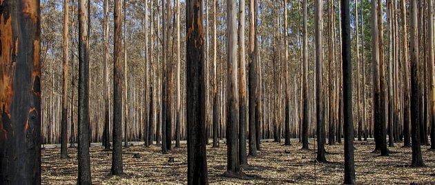 eukalyptový les po požáru