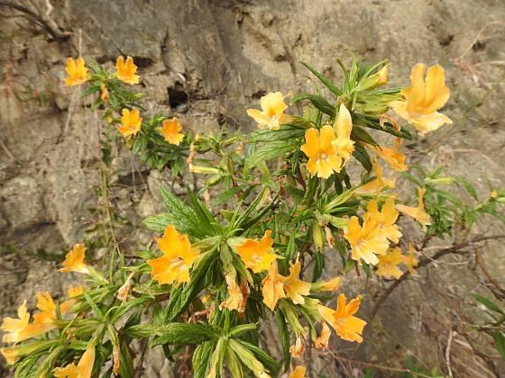 Kejklířka (Mimulus aurantiacus)