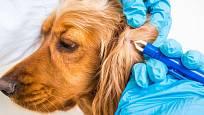 Klíště se může ukrývat i na vnitřní straně psího ucha