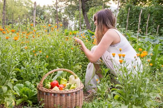 Mezi dozrávající zeleninou kvete pozdně vysetý měsíček