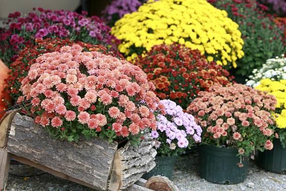 Chryzantémy můžete přesadit, nebo květináč opatřit obalem dle vkusu