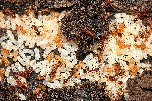 dělnice s mravenčími larvami