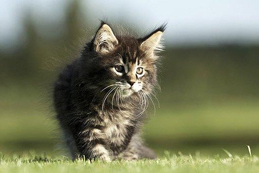 kotě mainské mývalí kočky