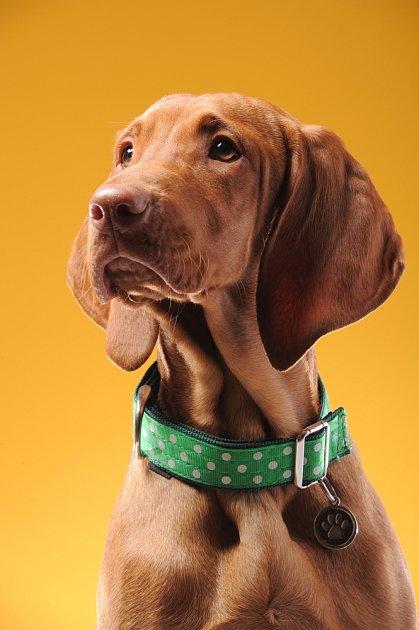 Psi se štíhlým krkem by měli mít hodně široký a nejlépe i polstrovaný obojek.