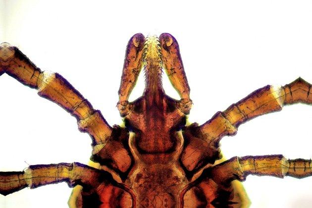 Klíště pod mikroskopem