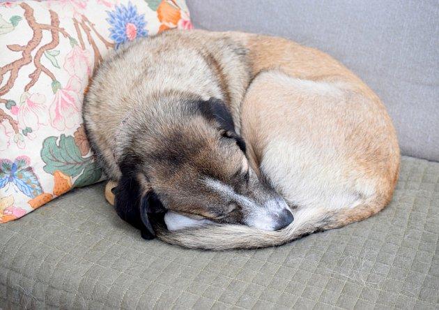 Pes pro sebe shromažďuje při spánku teplo.