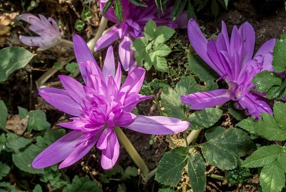 Mimořádně bohaté květy má ocún Waterlily.