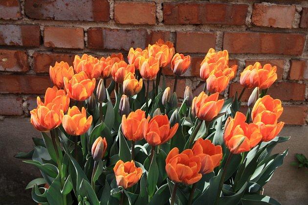 tulipány v nádobě, odrůda Princess Irene