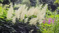 Udatnu lesní (Aruncus dioicus) můžeme pěstovat v řadě dekorativních kultivarů