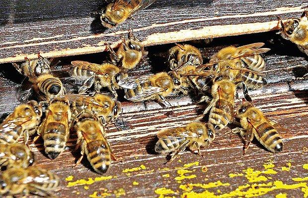 Včely strážící přístup do úlu