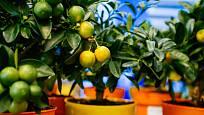Citroníky jsou krásné pokojové rostliny