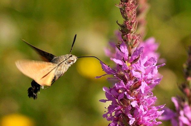 Dlouhozobka svízelová saje nektar za letu.
