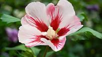 Ibišek syrský (Hibiscus syriacus) bohatě kvete celé léto.