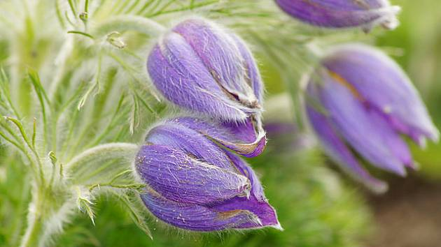 Koniklece patří k nejkrásnějším jarním květinám