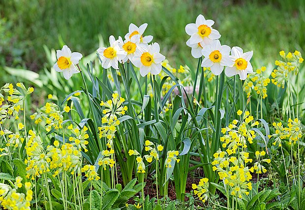 Narcisy a prvosenky