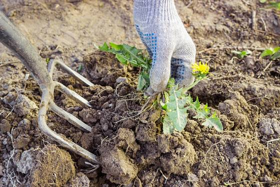 Vytrvalé plevele s hlubšími kořeny snáze odstraníme pomocí rycích vidlí.