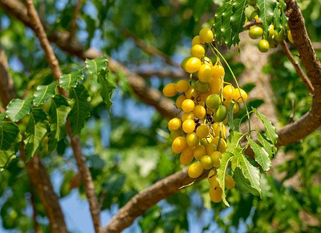 Listnatý strom Azadirachta indica, který je znám pod názvem neem a zastává i funkci nejsilnějšího bojovníka proti škůdcům.