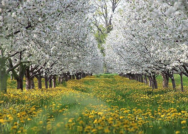 Třešně v květu