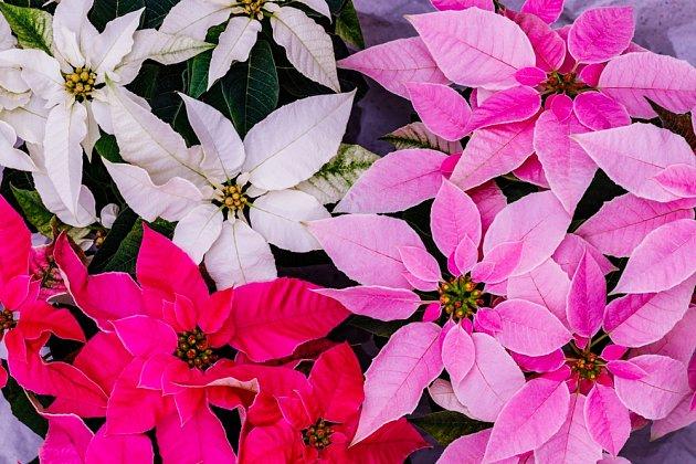 Vánoční hvězdy se nabízejí v mnoha odstínech zbarvení listenů.