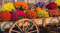 Hravé chryzantémy