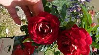 Kvalitní sazenice bývá opatřena etiketou, která zobrazuje skutečný květ. Třeba u odrůdy Die Sehenswerte se na to můžeme spolehnout