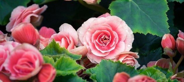Nádherné květy begónií můžete pěstovat v mnoha barvách i tvarech