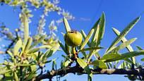 hrušeň hlošinolistá, Pyrus elaeagrifolia
