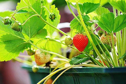 Měsíční jahody dozrávají postupně po celé léto
