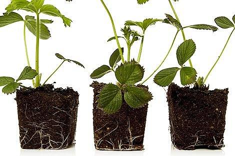 Novou i starší sadbu je možné též ošetřit fungicidem. Vhodné je namáčení sazenic před výsadbou.