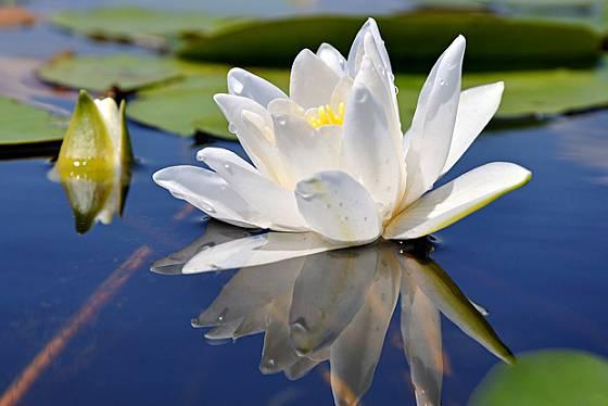 Poupata rozkvétající na hladině činí z leknínu takřka pohádkovou květinu