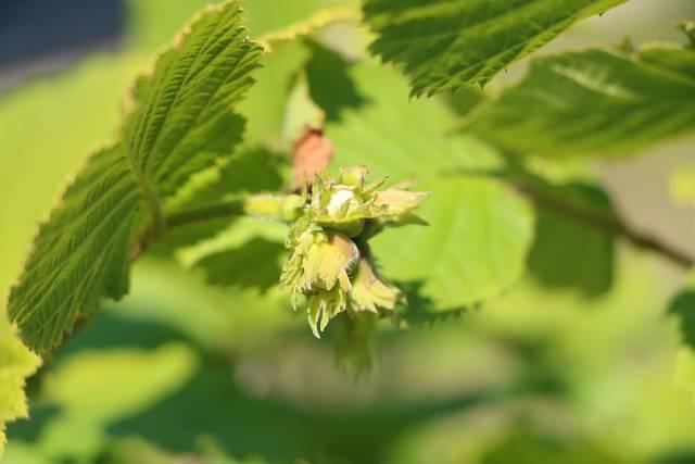 Jemné listy z lísky jsou vhodnou surovinou pro výrobu tzv. listovky neboli kompostu z listí.
