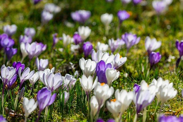 Na podzim vysadíte cibulky, na jaře šafránová loučka rozkvete