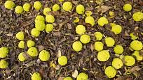 plody maklur nejsou vhodné k jídlu