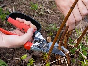 Rybíz, angrešt, maliník, ale také ostružiník patří mezi první rostliny, které se na jaře probouzejí.