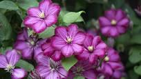Plamének (Clematis) s atraktivními fialovými květy.
