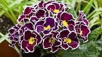 Primulky jsou vyšlechtěny do nevšedních barev a jejich kombinací