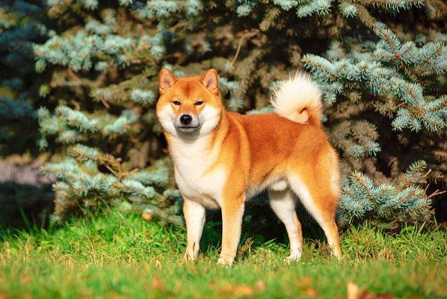 Japonský špic Shiba-Inu svým vzhledem připomíná lišku.