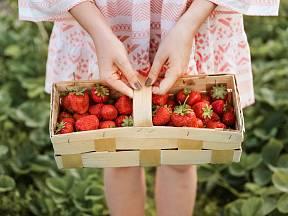 Sezóna zrání jahod už brzy začne