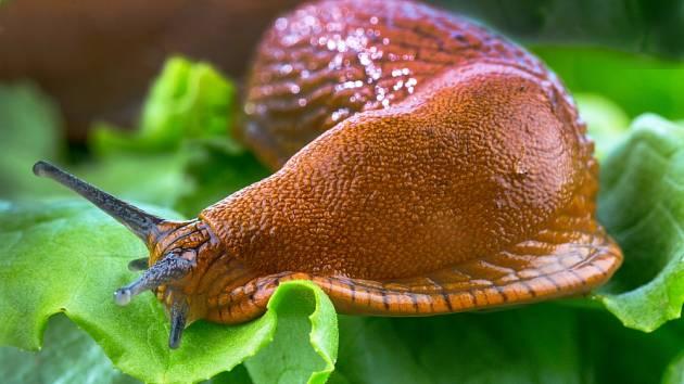 Máte pocit, že na slimáky na vaší zahradě nic nefunguje a stále vám požírají starostlivě vypěstované plody?