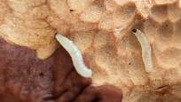 larvy smutnic (Bradysia paupera)