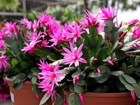 Hatiora, dříve Rhipsalidopsis známý jako velikonoční kaktus.