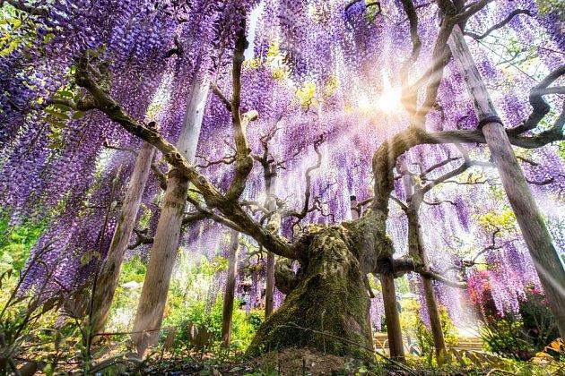 Vistárie z Ashikagy vypadá jako strom, ale její větve jsou podepřeny a rozprostírají se do neuvěřitelné šíře