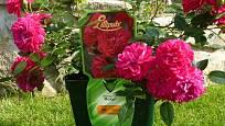 Růže v dostatečně velkém kontejneru na terase nebo na balkoně dobře prosperují a krásně kvetou, příkladem je třeba miniaturní růže Roxy