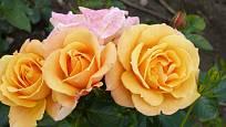 Růže odrůdy Lusatia