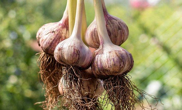 Germidour, francouzská odrůda česneku