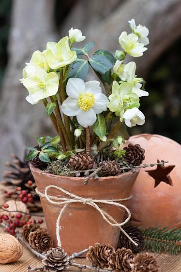 Čemeřice černá (Helleborus niger) se prodává v zimním období nakvetlá.