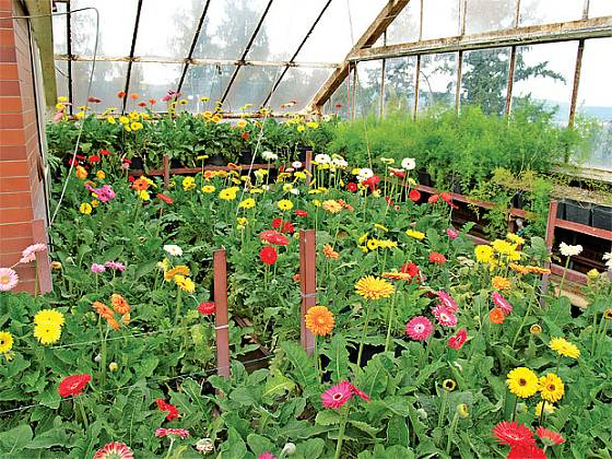 gerbery ve skleníku