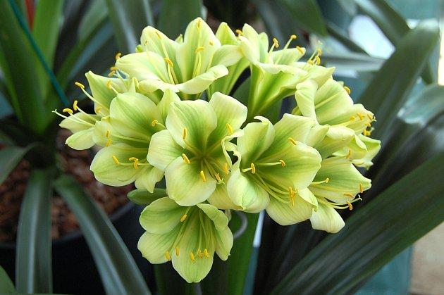 Klívie mohou mít i květy jiných barev.