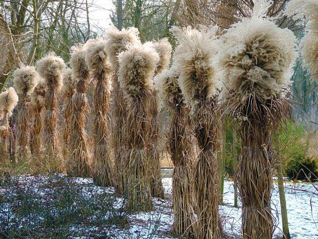 Okrasné trávy před zimou nikdy nestříháme. Můžeme je však svázat