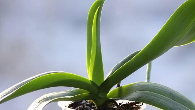 Zkontrolujte, zda na listech orchidejí nemáte lepkavé kapičky